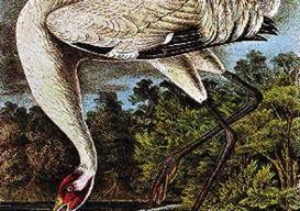 whooping-crane-audubon1