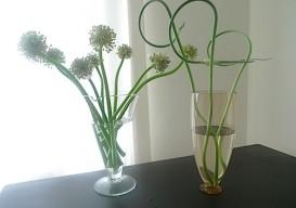onion flowers 1
