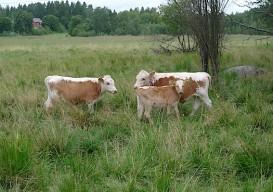 Bovik Farm Kyytto cows finland