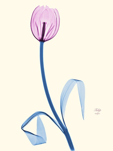 x-ray of a tulip