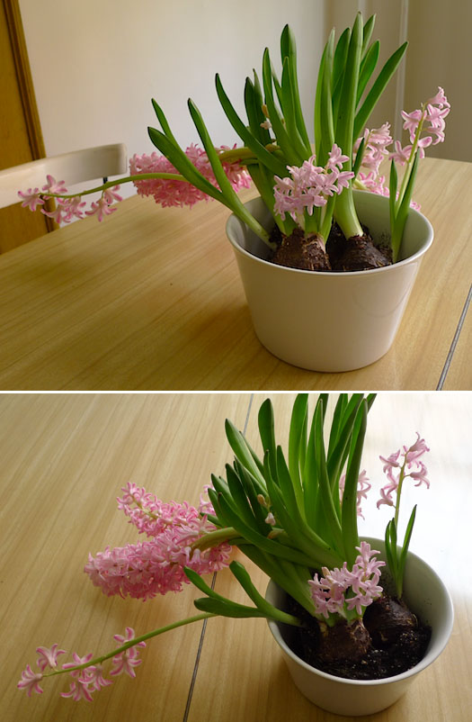 cheap potted flowers placed in a bowl, opening