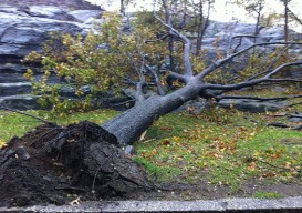 Hurricane Sandy tree destruction
