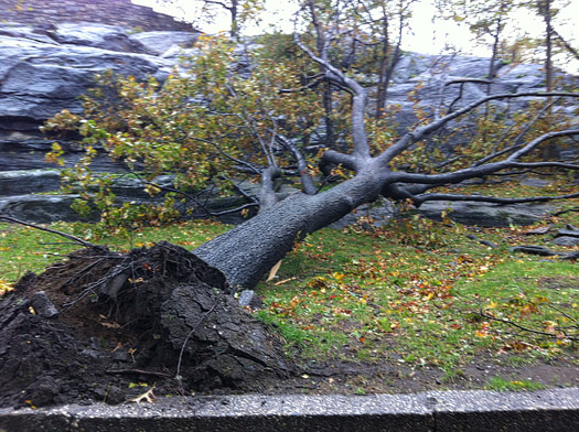 Hurricane Sandy tree destruction
