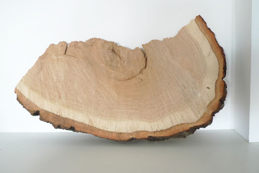 oak tree slice
