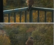 hawk owl or kestrel raptors in New York City