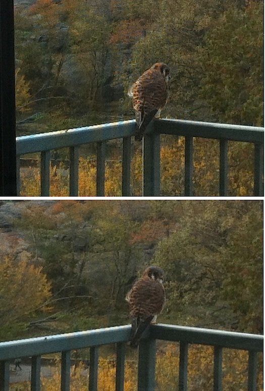 hawk owl or kestrel raptors in New York City