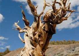 the bristlecone pine tree is the oldest non-clonal living species