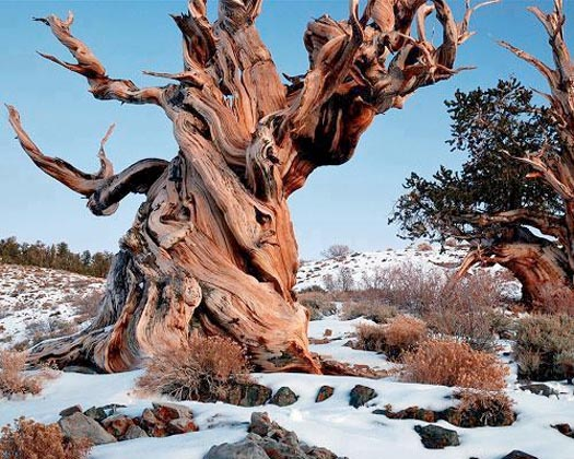 this bristle cone pine tree is the oldest non-clonal being on Earth