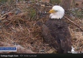 Eagle Cam Berry College