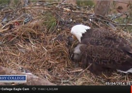eagle cam Berry college 5