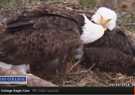 eagle cam berry college 3