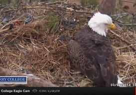 eagle cam berry college 4