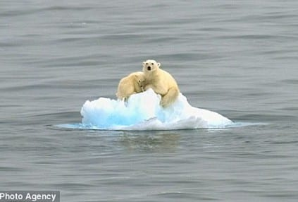 climate change polar bear on ice flow