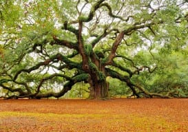 ? Angel Oak Tree