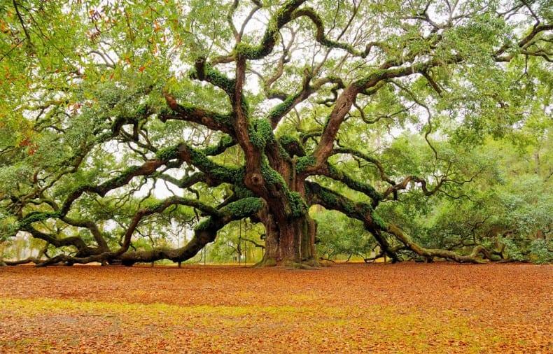 ? Angel Oak Tree