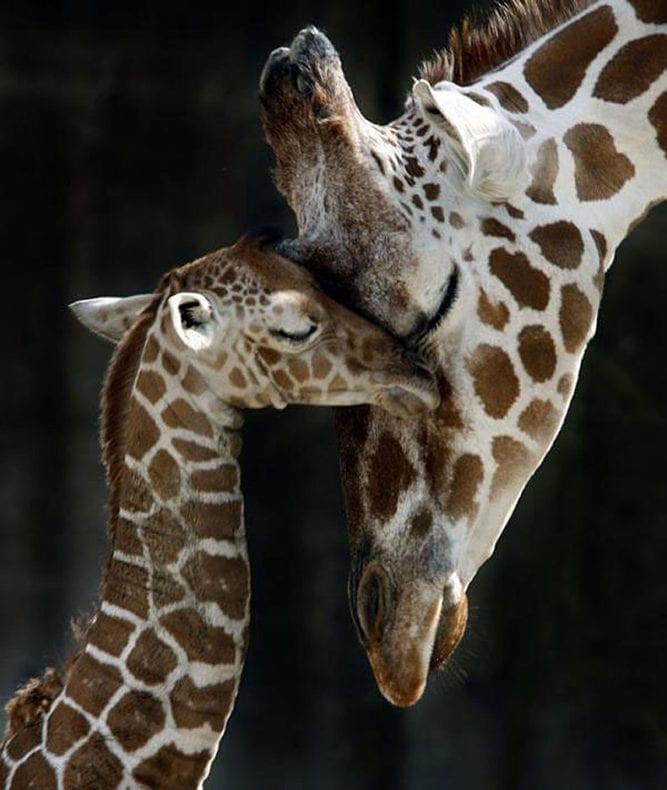 giraffes mother's day
