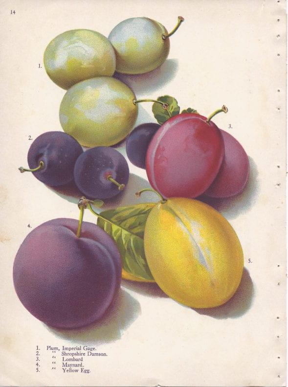 plums-botanical-print